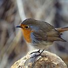 The bold robin by MichaelBr