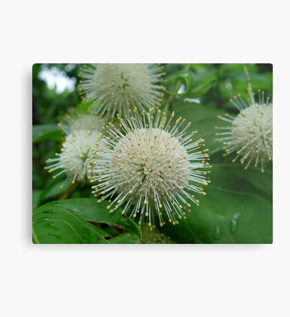 Buttonbush Metal Print