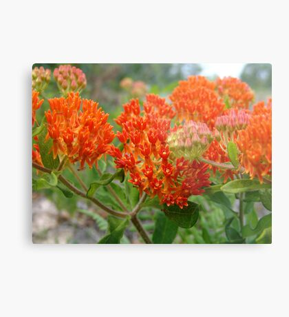 Asclepsia (Butterfly Weed) Metal Print