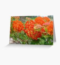 Asclepsia (Butterfly Weed) Greeting Card