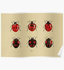 Coccinellidae entomology studies fig. 11 Poster