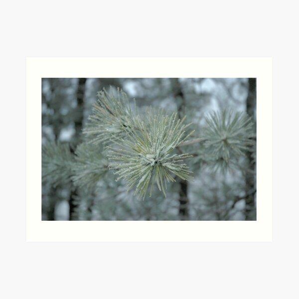 Frosty Pine Branch - 1 Art Print