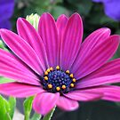 Pink and Purple - Cape Daisy and Petunias by BlueMoonRose