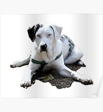 Catahoula Cur Laying Down Poster