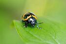 Swamp Milkweed Beetle by Stephen Beattie