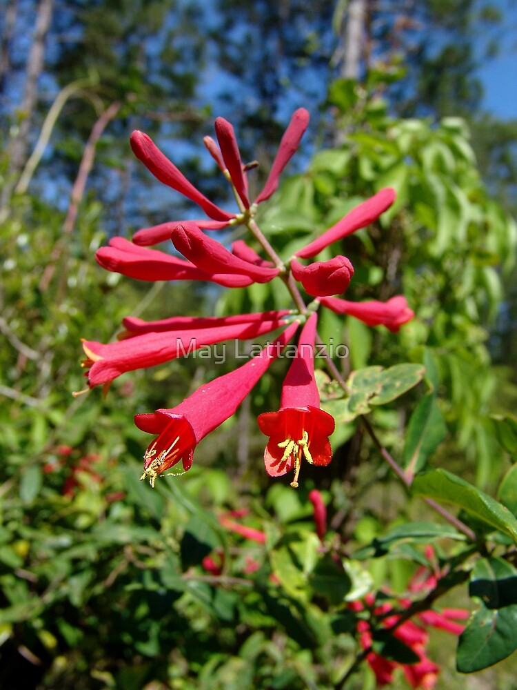 Trumpet Honeysuckle (Lonicera sempervirens) by May Lattanzio