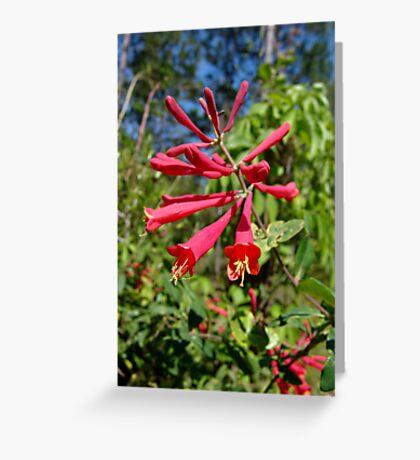 Trumpet Honeysuckle (Lonicera sempervirens) Greeting Card