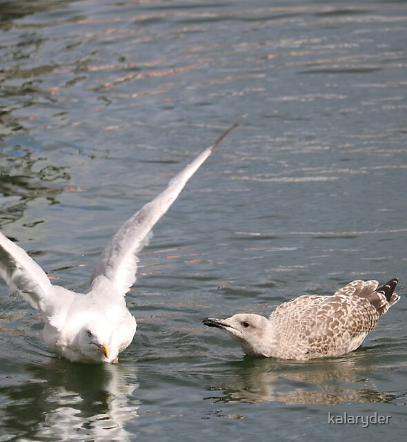 Seagulls in the Harbour by kalaryder