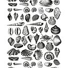 Vintage Sea Shell Drawing Black And White by artsandsoul
