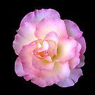 Pastel Rose by John Wallace
