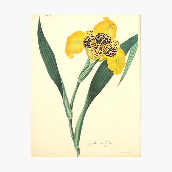 Roscoe, Margaret (1786-1840) - Floral Illustrations of the Seasons 1831 - Tigridia Conchiflora Photographic Print