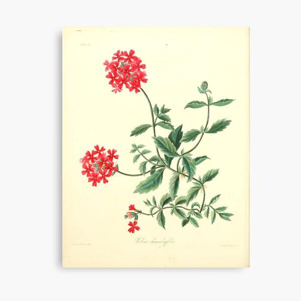 Roscoe, Margaret (1786-1840) - Floral Illustrations of the Seasons 1831 - Verbena Chamaedrifolia Canvas Print