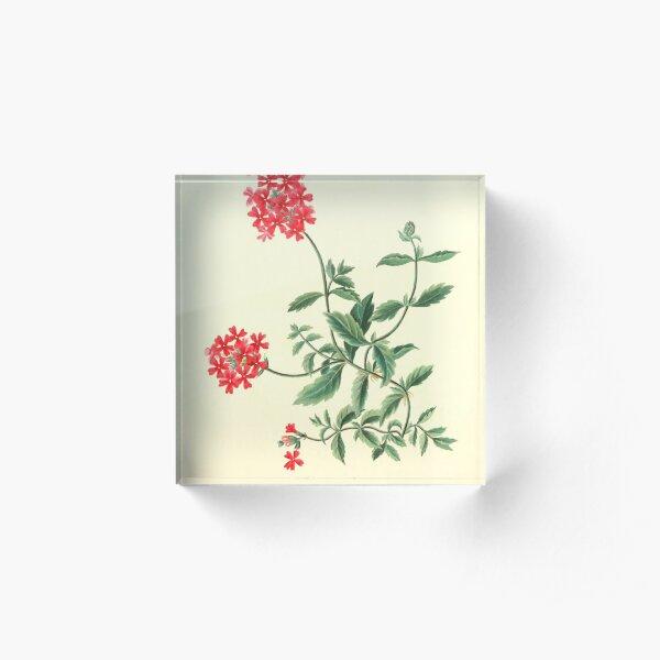 Roscoe, Margaret (1786-1840) - Floral Illustrations of the Seasons 1831 - Verbena Chamaedrifolia Acrylic Block