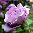 Rose garden 2 by jamluc
