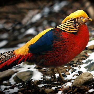 Golden Pheasant by bobbymcleod