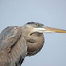 A Great Blue Heron by Jeff Ore