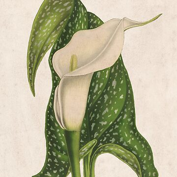 Vintage Flower Calla Lily with Green Leaves Closeup by VintageArchive