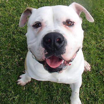 Adopted - American Bulldog x by BlokeyAarsevark