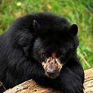 Modest Bear II by Daniela Pintimalli