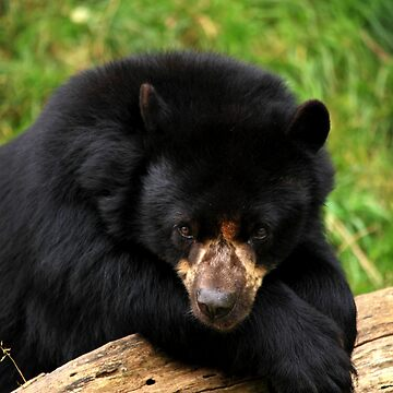 Modest Bear II by TVD-Photography