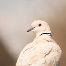 Barbary Dove by SusanAdey