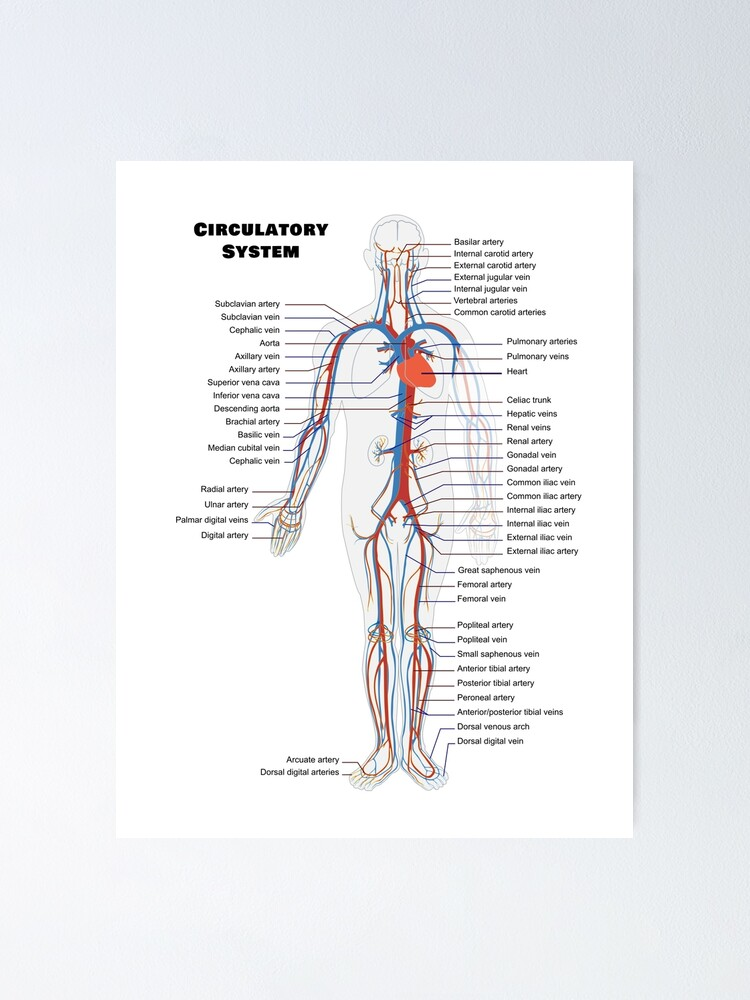 NEW POSTERIOR MUSCULAR SYSTEM CHART ANATOMICAL DIAGRAM ART PRINT PREMIUM POSTER