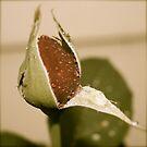 Red Rose Bud by Fern Design