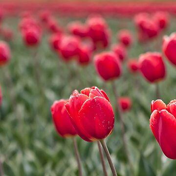 Tulips by AndreaZaaijer