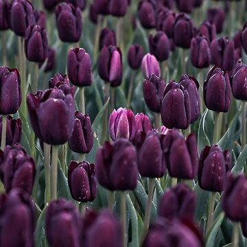 Tulip field by AndreaZaaijer