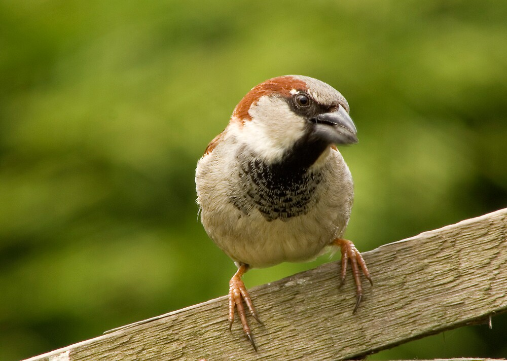 House Sparrow with sunflower seed. by Ron Hindhaugh