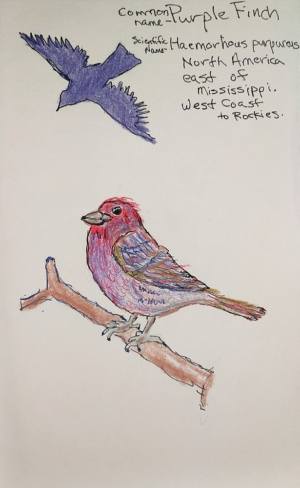 Purple Finch by Branwen Drew
