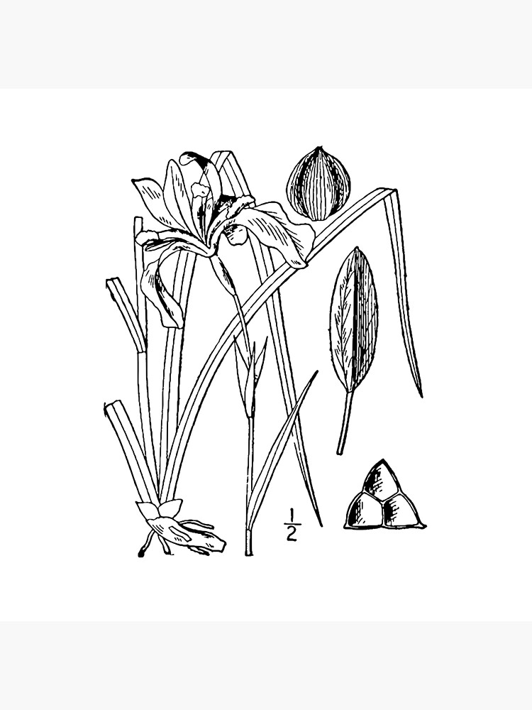 Botanical Scientific Illustration Black and White Iris by pahleeloola
