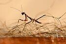 Mantis Juvenile attacking a human! by Normf
