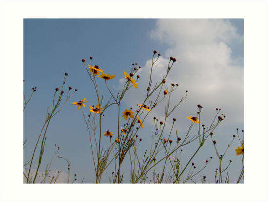 Plains Coreopsis by May Lattanzio