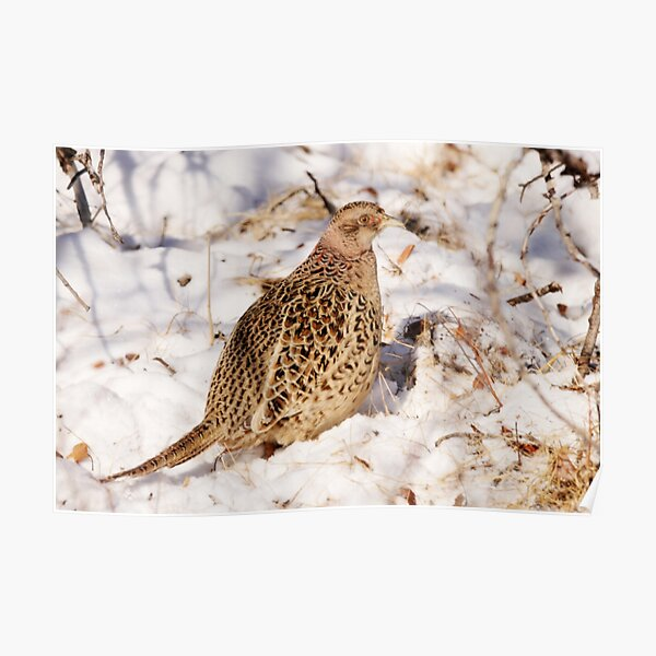 Female Ring Necked Pheasant Poster