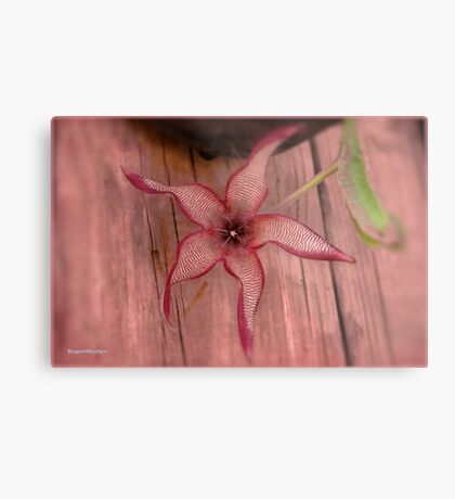 DIFFERENT FACES OF THE STAPELIA GIGANTEA - Giant carrion flower - REUSE AASBLOM Metal Print