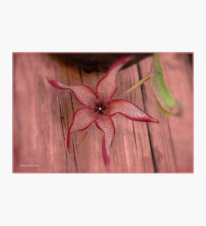 DIFFERENT FACES OF THE STAPELIA GIGANTEA - Giant carrion flower - REUSE AASBLOM Photographic Print