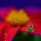 Little Hopper by Debbie Steer