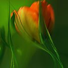 Red Tulip by Marlies Odehnal