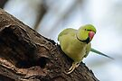 Rose-ringed Parakeet 04 by Werner Padarin