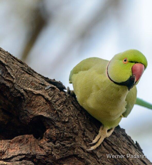 Rose-ringed Parakeet 04 by Werner Padarin