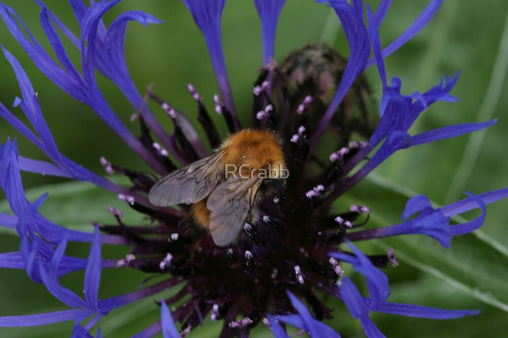 Bee on Centaurea by RCrabb