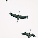 Three Common Cranes Flying in Midair From Below by visualspectrum