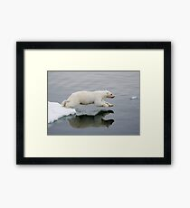 Polar Bear diving (without the bloody nose) Framed Print