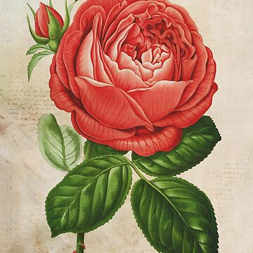 Red Hybrid Perpetual, Paul Neyron Rose Vintage Print by VintageArchive