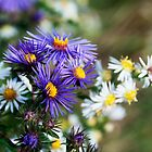 Daisies, White and Coloured. by Billlee