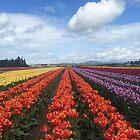 Skagit Valley Tulips by SavingMemories