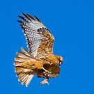 Red-Tailed Hawk and Prey by Marvin Collins