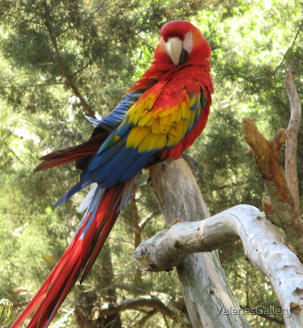 Red Macaw Parrot by ValeriesGallery