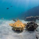 Wobbegong, Tangalooma Wrecks by Kara Murphy
